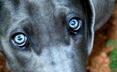 enfermedades ojos perros