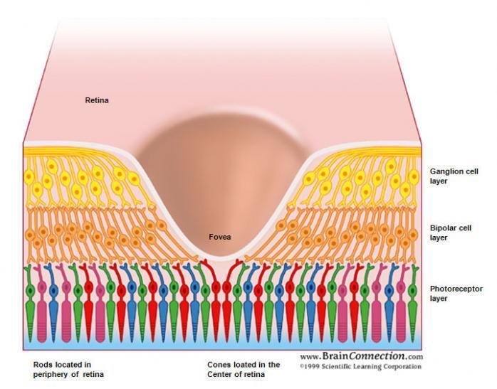 fovea retina receptores